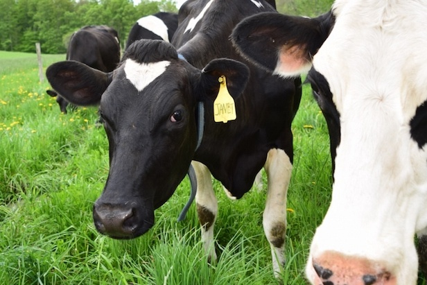 silloway-farms-cow